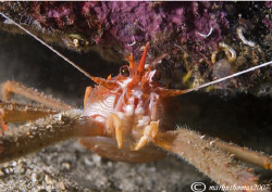 Long-clawed squat lobster.